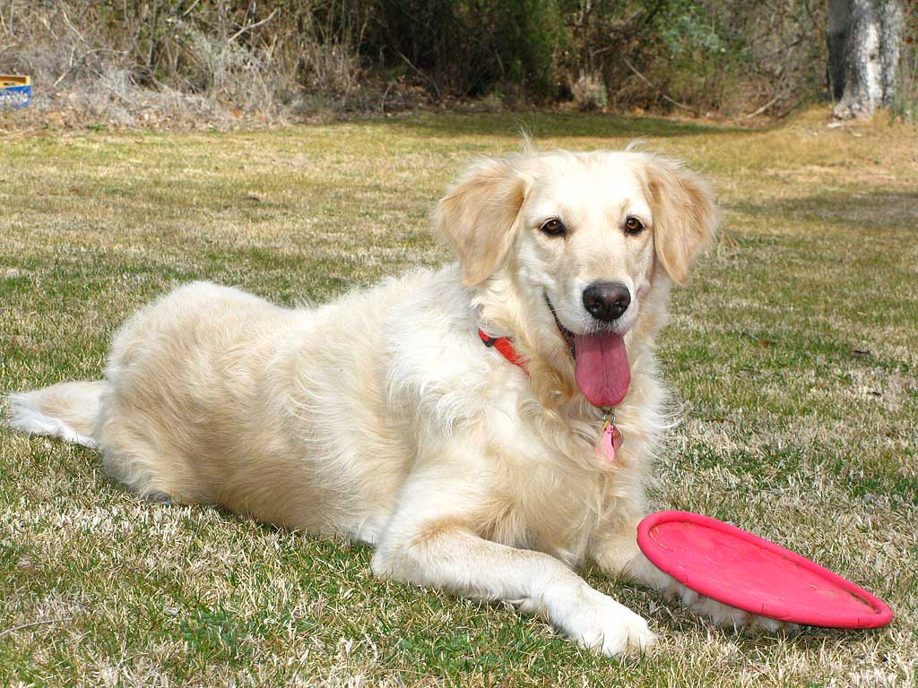 golden-retriever-frisbee