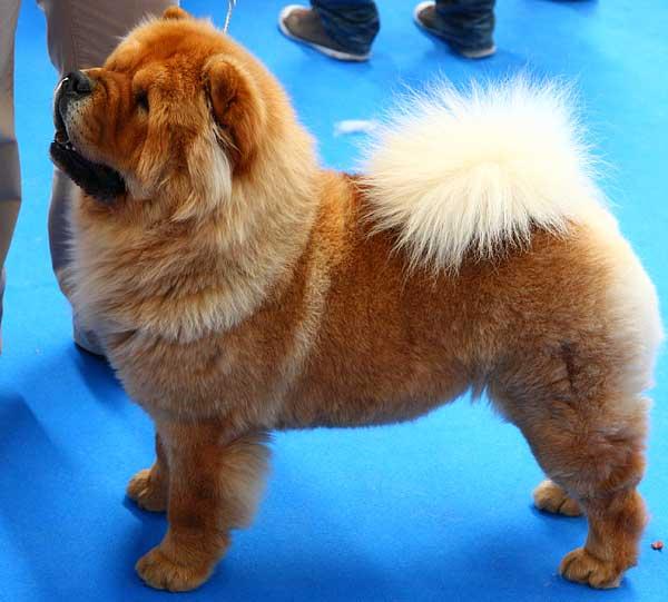Investigación del Kennel Club británico revela disminución de los niveles de endogamia