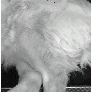 Implantes de oro en puntos de acupuntura para tratar la artrosis coxofemoral en perros