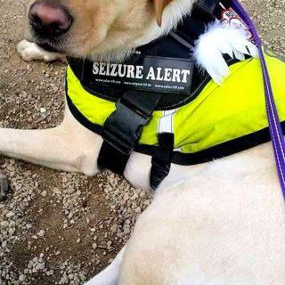 #Perros que salvan vidas asistiendo a personas con epilepsia (vídeo).
