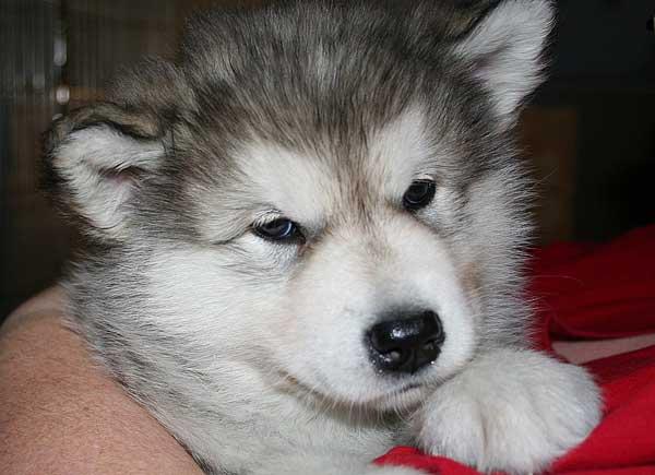 Cachorro de alaskan malamute.