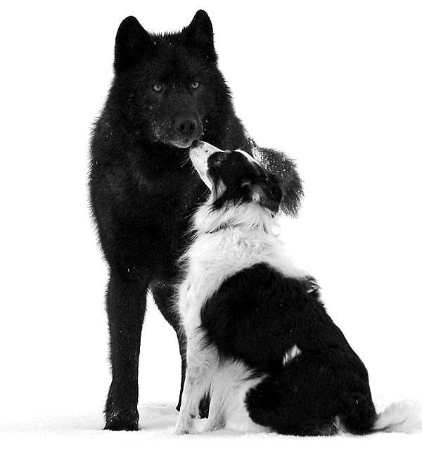 """""""Un lobo llamado Romeo"""" es la fantástica historia del lobo negro que se hizo amigo de los perros, y también de las personas. Relatado por Nick Jans."""