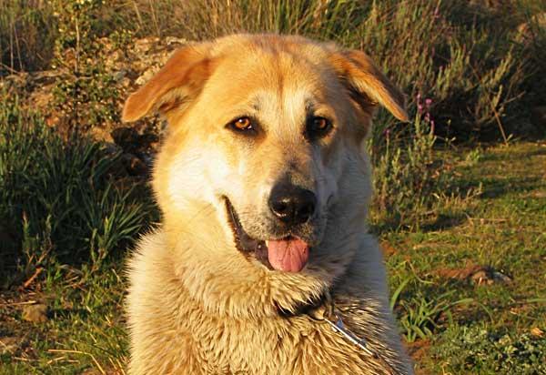 La artritis canina puede cambiar el ánimo de los perros