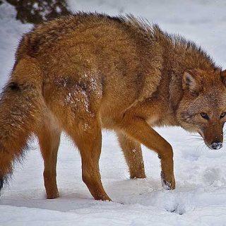 El coywolf es un híbrido entre coyote, lobo y perro
