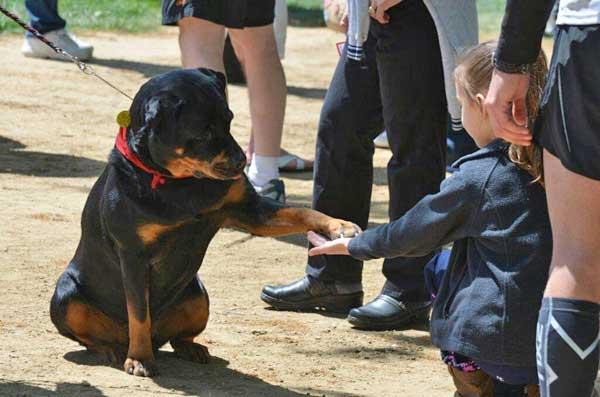 """Perro de Terapia: """"Wynd,"""" un Rottweiler propiedad de Renice Zimmerman de Yorktown, Virginia."""