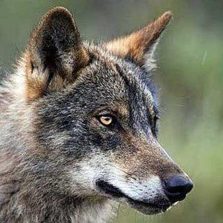 @LobisomeNat Salvar al lobo de los censos oficiales, planes cinegéticos y reservas de caza en CyL.