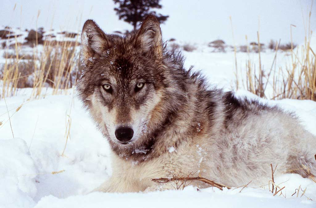 Lobo-gris-nieve