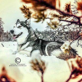 Fotografía de #perros: los malamutes de Lotta Hulkoff.