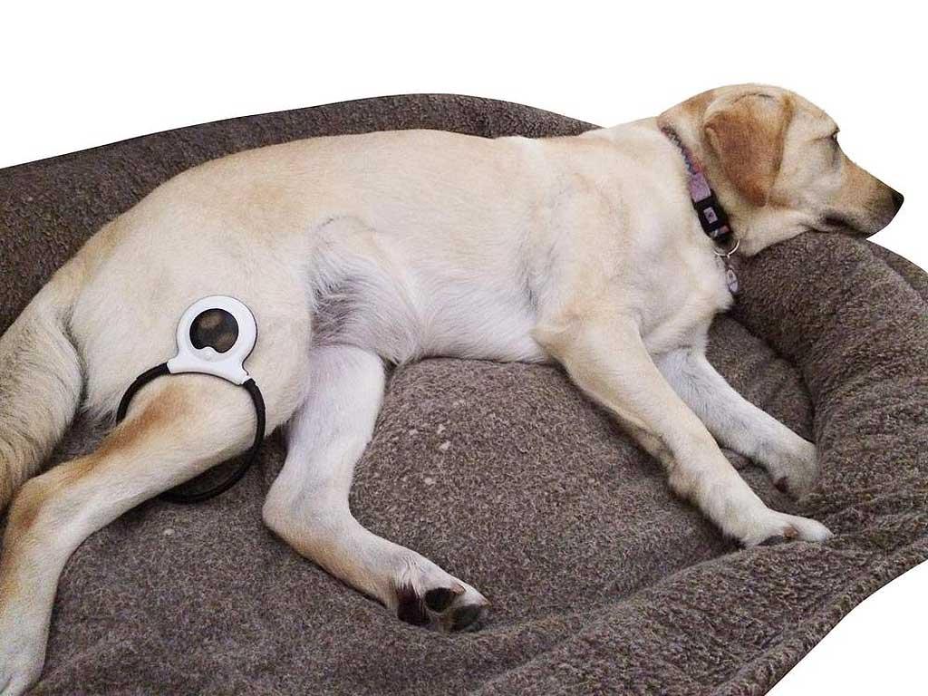 Aliviar el dolor de los perros con un dispositivo.
