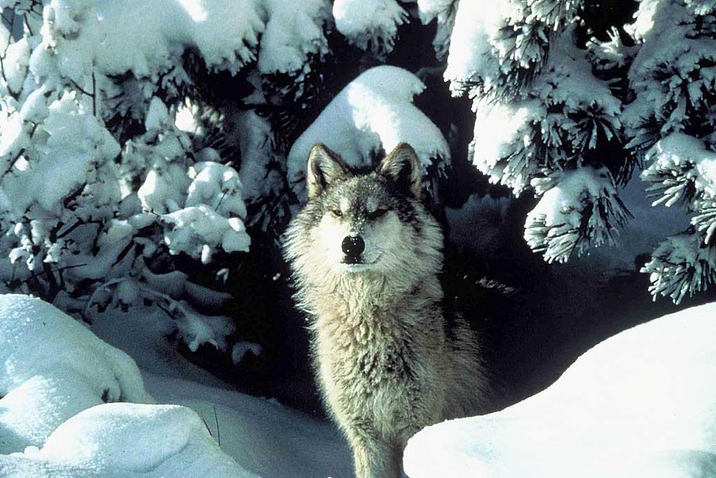 Lobo-gris-domesticacion