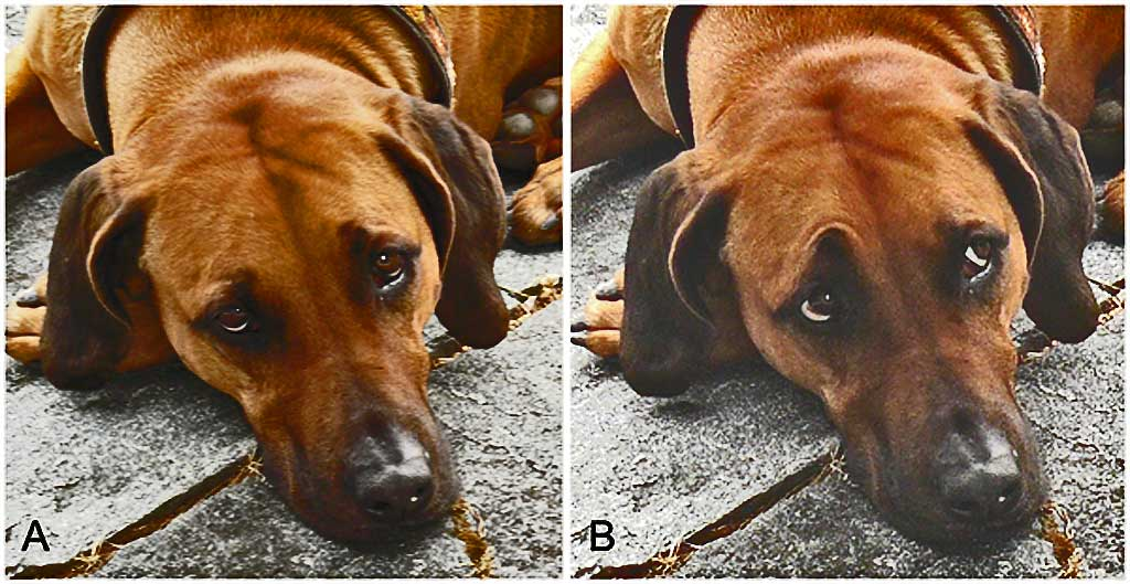 Neotenia-perros