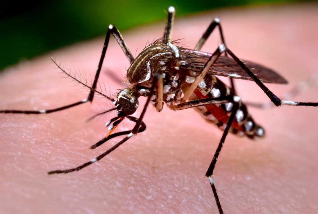 El virus Zika y los perros ¿les afecta? ¿lo transmiten?