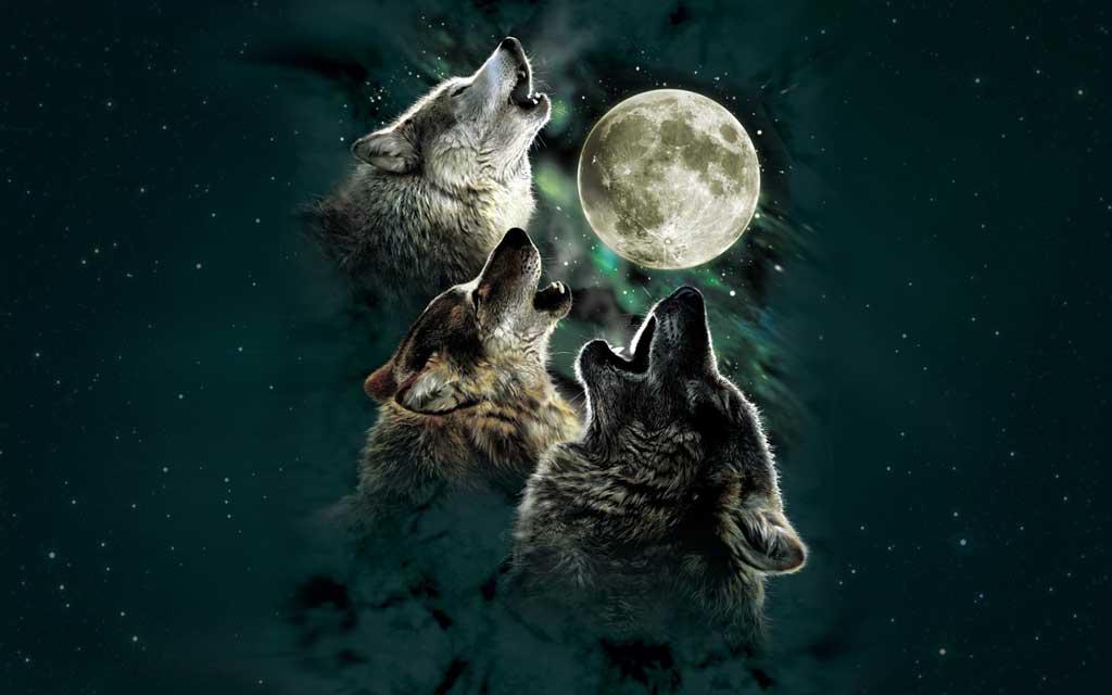 Los aullidos de los lobos sirven para comunicarse