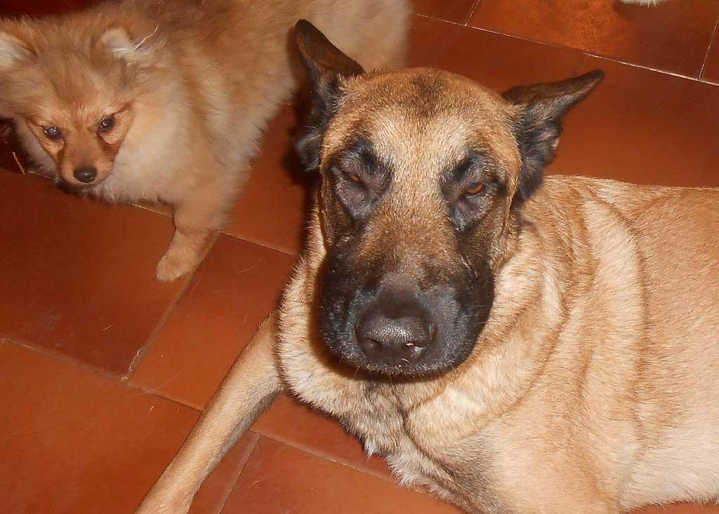 Oruga-procesionaria-perro