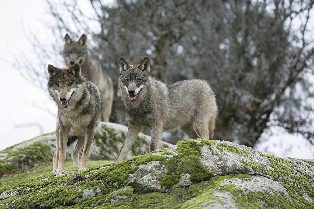 Diferencias entre lobos y perros.