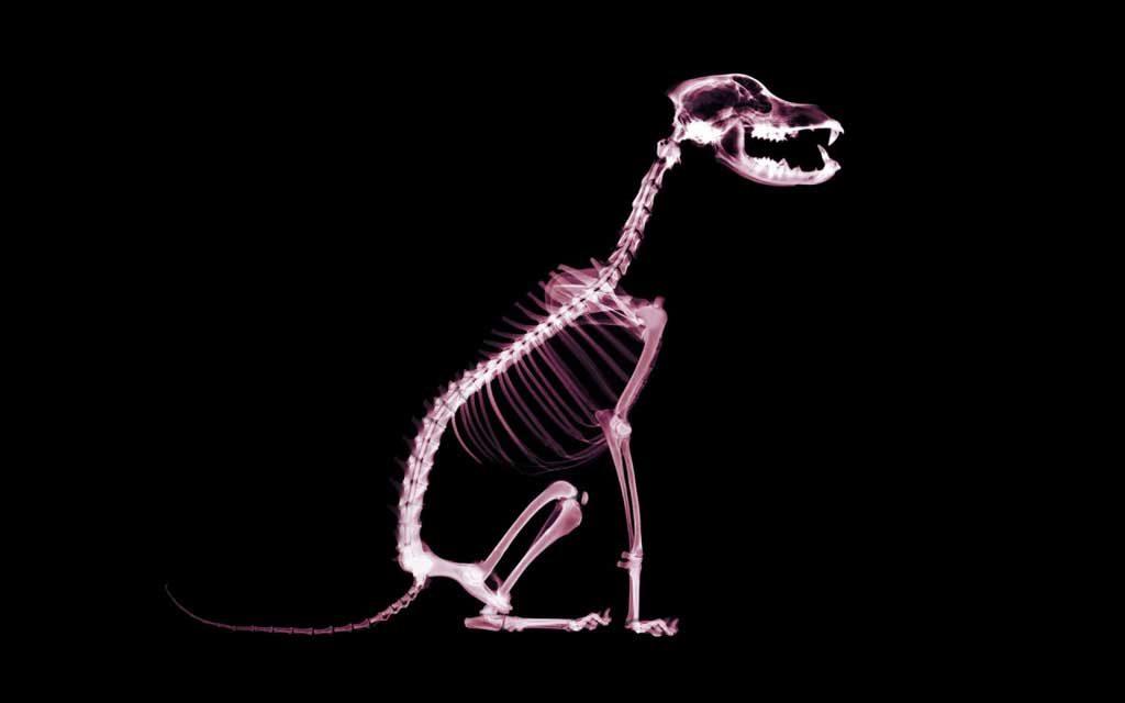 Cojera-perros