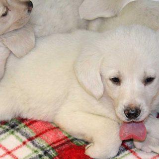Razones por las que NO se deben vender perros en tiendas
