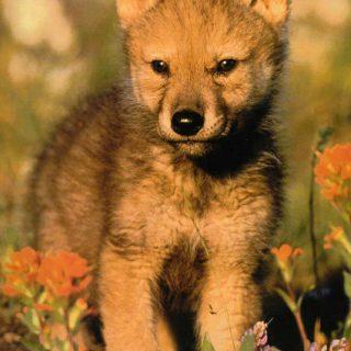 El juego en los lobos y su papel social