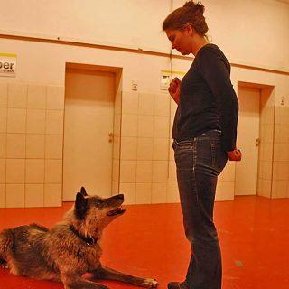 El entrenamiento ayuda a reducir el estrés en los lobos
