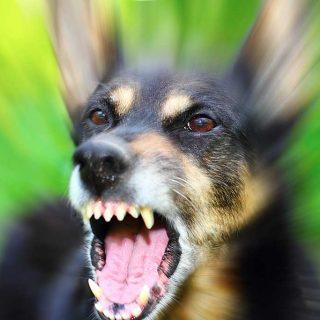 Genética de la agresión en perros.