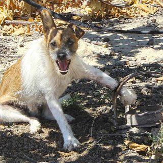 Imputado por poner cepos en su finca un cazador en Novelda (Alicante)
