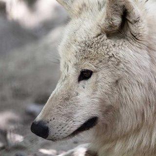 Relaciones de dominancia en una manada de lobos árticos