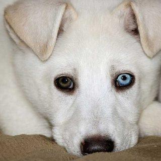 Los perros muestran lateralidad facial en respuesta a estímulos emocionales.
