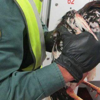 Esta vez no son perros, son gallos, pero el perfil del maltratador de animales es el mismo: La Guardia Civil procede contra 28 personas implicadas en peleas de gallos.