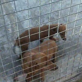 La Guardia Civil inmoviliza más de 150 perros en un criadero ilegal.
