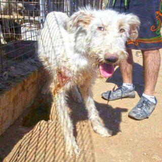 En el Día Mundial del Galgo, la protectora El Refugio pide 40 años de cárcel para un cazador por cometer presuntamente 55 delitos de maltrato animal