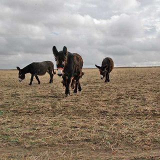 El estudio realizado durante dos años en explotaciones de la provincia ha sido apoyado por la Diputación de Zamora y constituye una novedad en la península ibérica, donde nunca se ha trabajado en un proyecto semejante, que además ayuda a la convivencia entre ganaderos, lobos y también burros.