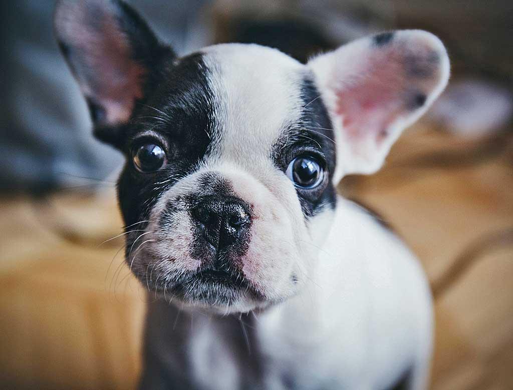 Bulldog francés, perro braquucéfalo.