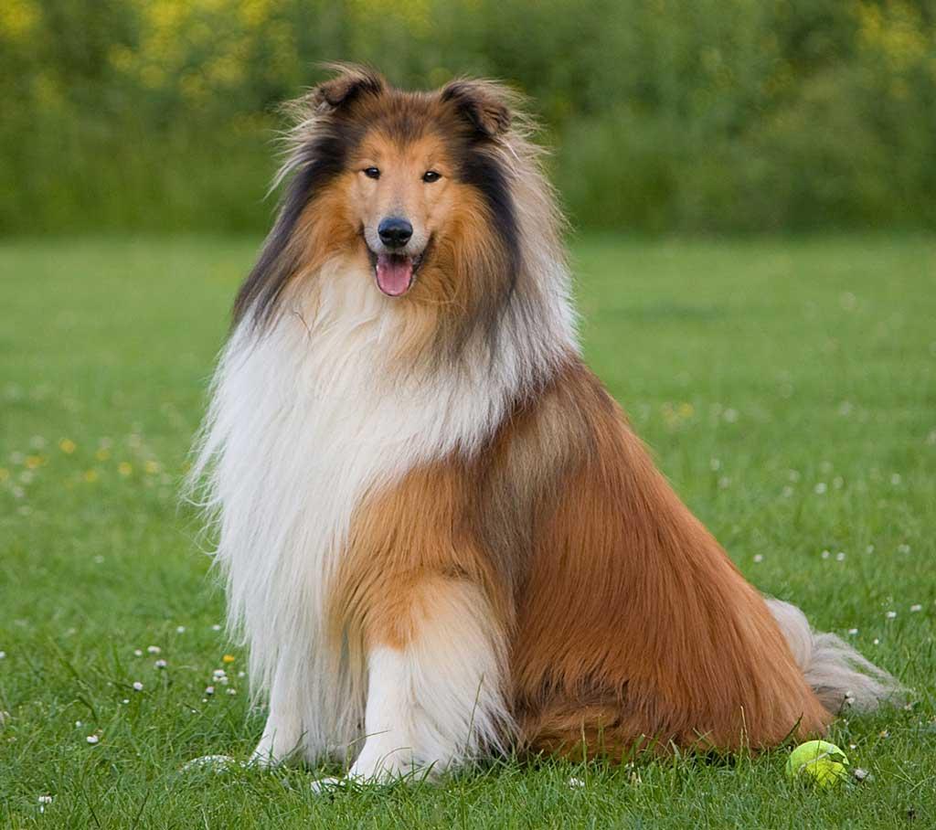 Un total de 160 perros participarán este domingo en la XXXVI Monográfica Collie Club en Colmenar del Arroyo (Madrid).