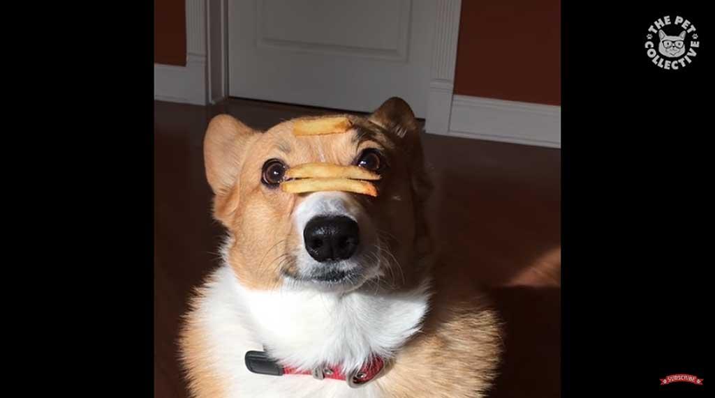 Vídeos de trucos con perros con una única condición: que no lo protagonicen border collies.