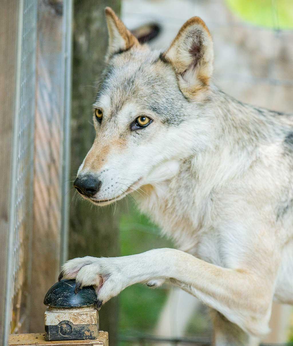 No solo los perros, los lobos también identifican las desigualdades.
