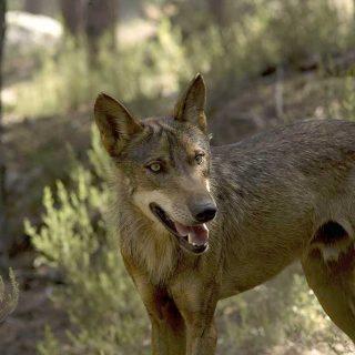 El Centro del Lobo, cada vez más visitado