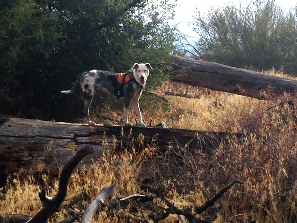 """Perro de búsqueda y rescate : """"Piglet"""", un perro de Catahoula, propiedad de Lori Wells de Lancaster, California."""