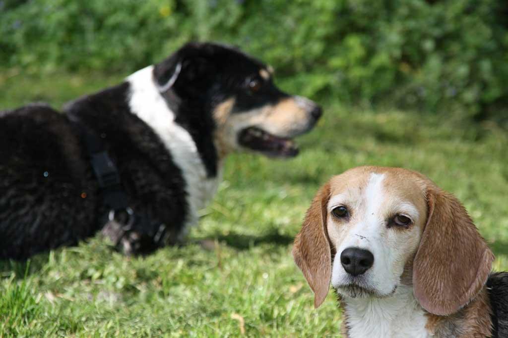 Tratamiento de la leishmaniasis canina con marbofloxacino en perros con enfermedad renal.