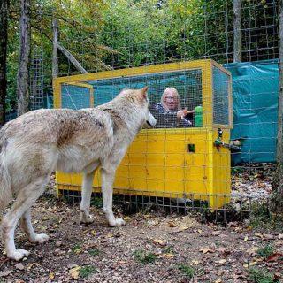 Relación causa-efecto, los lobos la comprenden mejor que los perros.