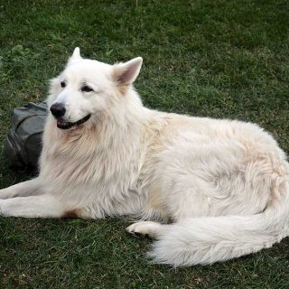 El pastor blanco suizo ya es una raza para el Kennel Club.