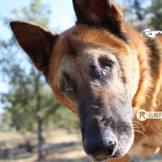 Alan, un perrito ciego rescatado por El Refugio, busca familia.