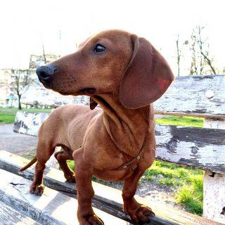 Un estudio identifica la mutación genética detrás de las hernias de disco en perros.