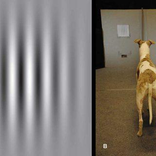 Los perros ven mejor de lo que creíamos (pero peor que nosotros).