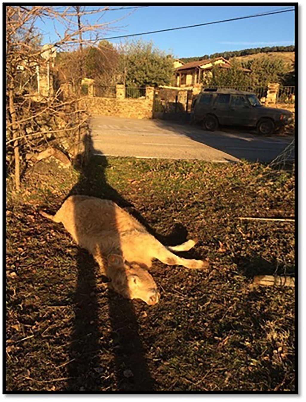 """Lobo en Madrid: """"El lobo vuelve a casa por Navidad"""". La Unión de Agricultores, Ganaderos y Silvicultores de la Comunidad de Madrid (UGAMA) alerta de que el lobo no solo ha colonizado el campo madrileño sino que también lo está haciendo en los mismísimos núcleosurbanos de las poblaciones serranas."""