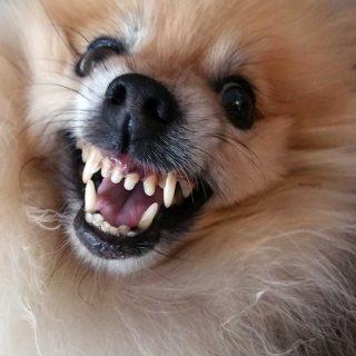 Los gruñidos de los perros ¿qué información aportan?