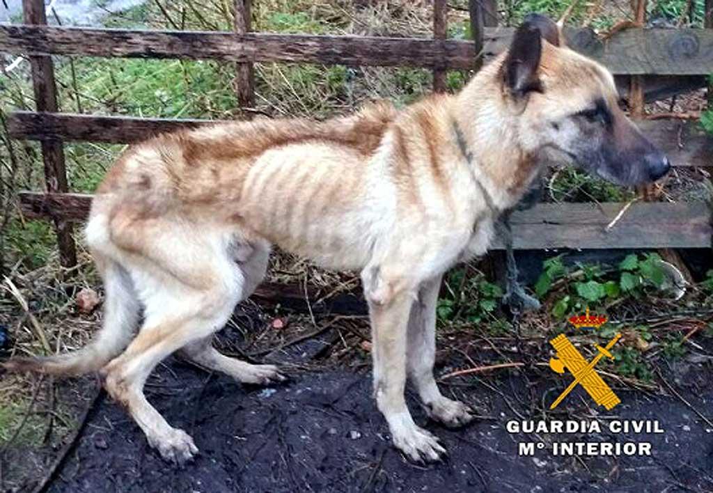 Guardia Civil detiene al dueño de un perro con desnutrición extrema.