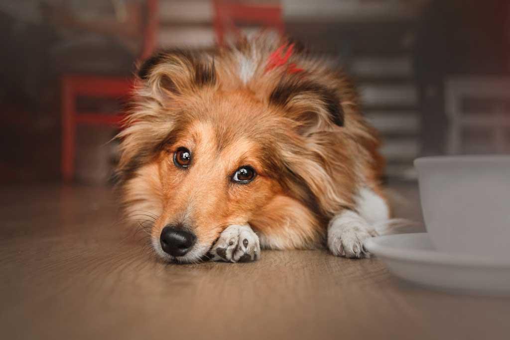"""Lassie es un personaje de ficción que ha protagonizado durante años películas, series de televisión y libros de aventuras: se trata deuna Collie que se ha labrado el apelativo de """"la perra más famosa del mundo""""."""