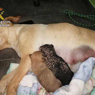 La Guardia Civil investiga a tres personas por sepultar vivos a nueve cachorros de una camada en una finca de Mula.