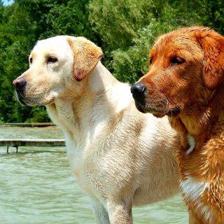 Labrador retriever, raza más popular en EE.UU.