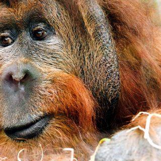 Dos casos de Leishmania en orangutanes en Madrid.